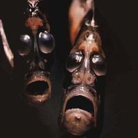 Рибата Бръснач