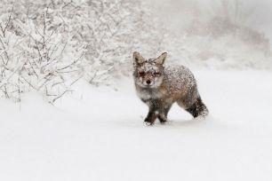 Лисица сред покритата от сняг природа
