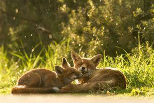 Почиващи си лисици