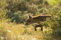 Дебнещата лисица