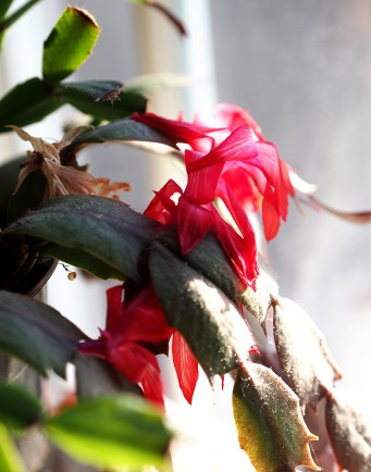 December: Blooming on time, just for Chrismas.