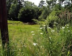June: Queen Anne's Lace near the creek.