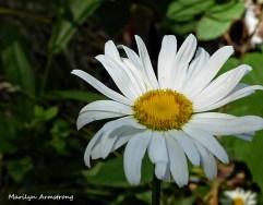 72-Daisy-Flowers_25