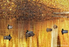 Ducks on a golden day in November on the Mumford River
