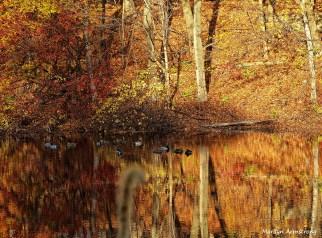November Mallards golden Mumford