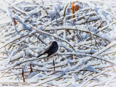 72-Bird-Snow-Sunday0125_23