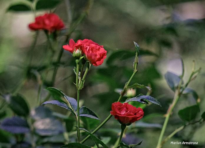 72-Red-Roses-Garden_20