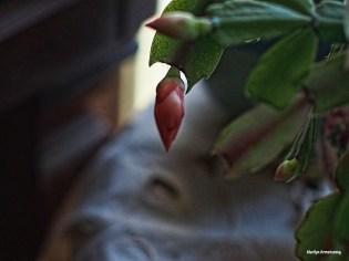 72-buds-christmas-cactus-28112016_009