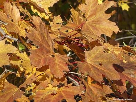 72-maple-leaves-mumford-dam-ma18112016_132