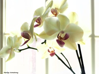 300-orchids-two-041917_022