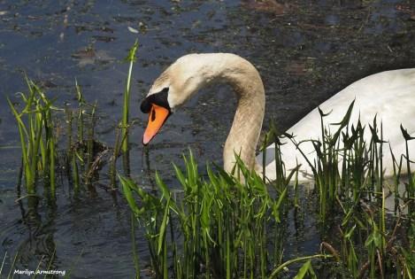 300-swans-mar-050417_005