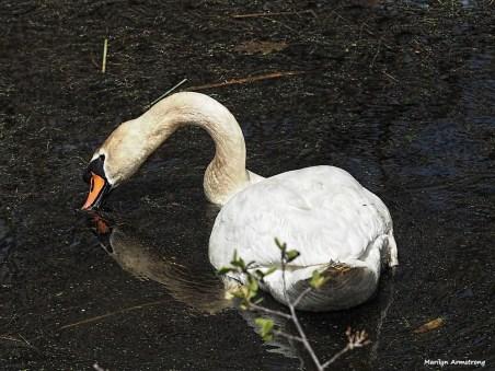 300-swans-mar-050417_138