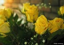 300-yellow-roses-051417_003