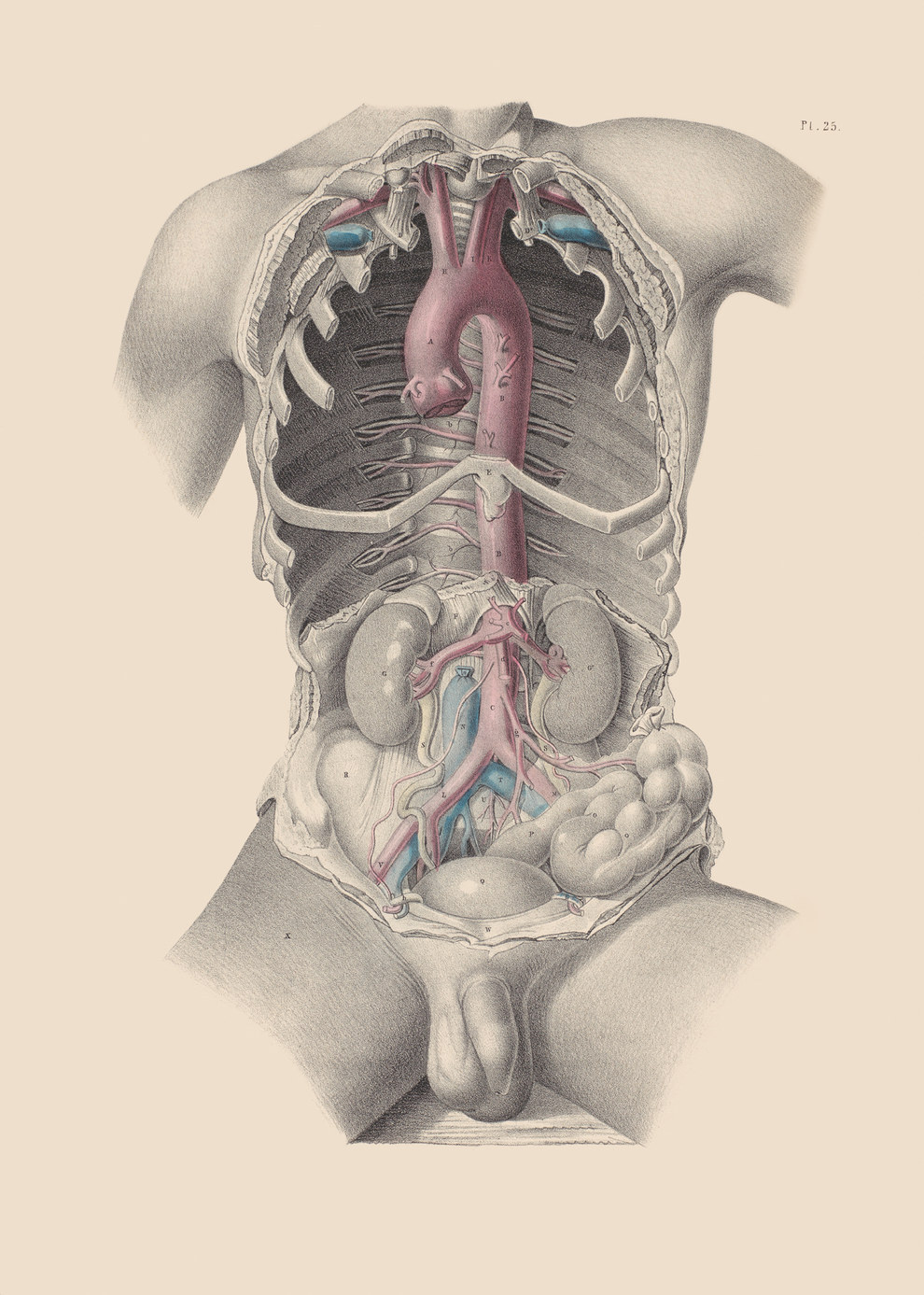 Dissection showing the aorta and the major arteries of the thorax (the bit inside the ribcage) and abdomen.