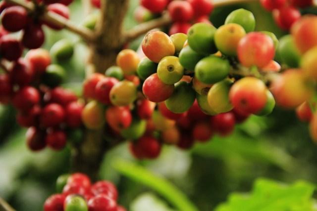 Tuoreita värikkäitä kahvimarjoja pensaassa.
