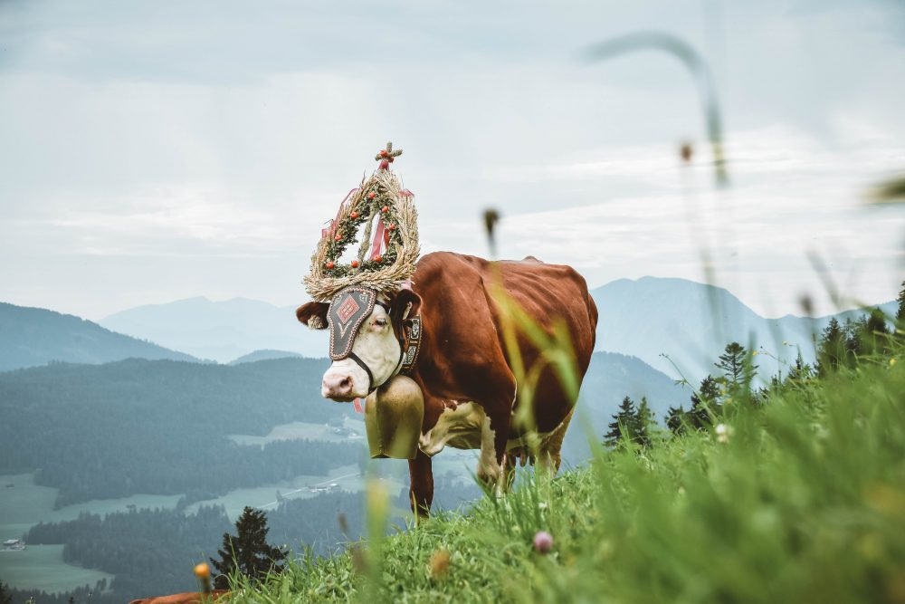 Cow in Austrian countryside