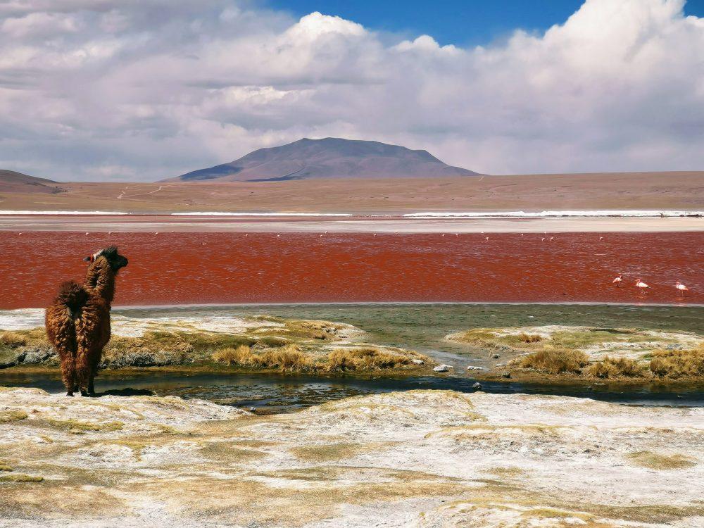 Llama in Bolivian landscape