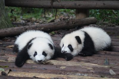 Pandas in Chengdu zoo