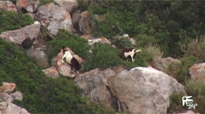 13/05 Fiscalia rebutja treure les cabres vives des Vedrà