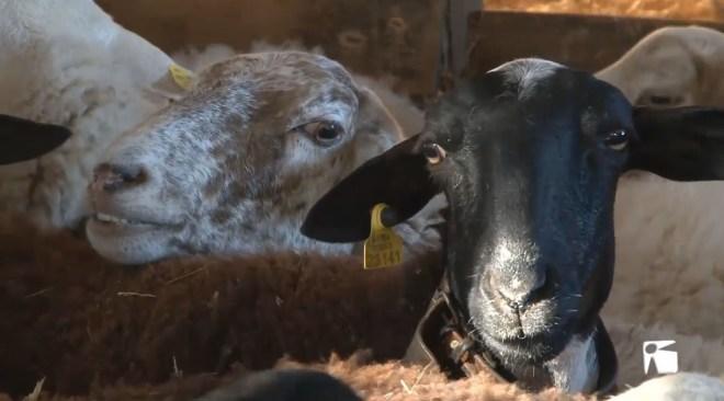 16/01 Els atacs de cans a ovelles desestabilitzen la ramaderia a Formentera