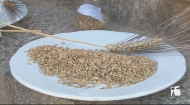 21/08 Troben a Estats Units una varietat de blat local que es donava per perduda.