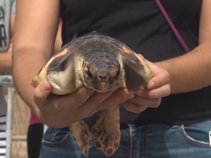 24/09/2021 Alliberades 15 tortuges a la Platja d'Es Cavallet, les primeres nascudes a Eivissa