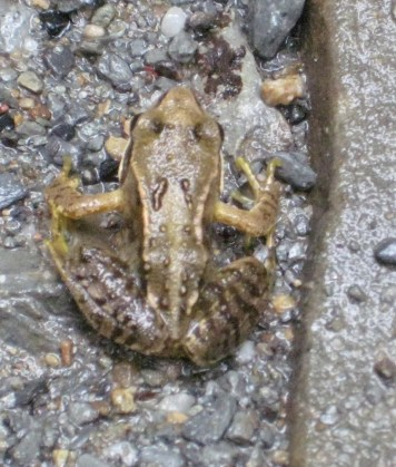 Frog in Ty Canol Woods