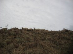 7. The sheep were curious.