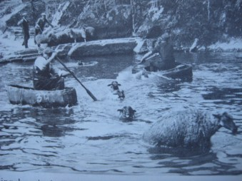Washing sheep in the river Teifi at Cenarth, 1933