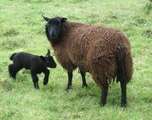 Pembrokeshire Sheep