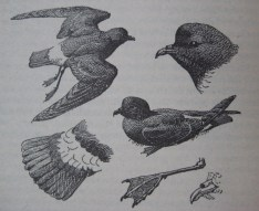 Storm Petrels by Charles Tunnicliffe