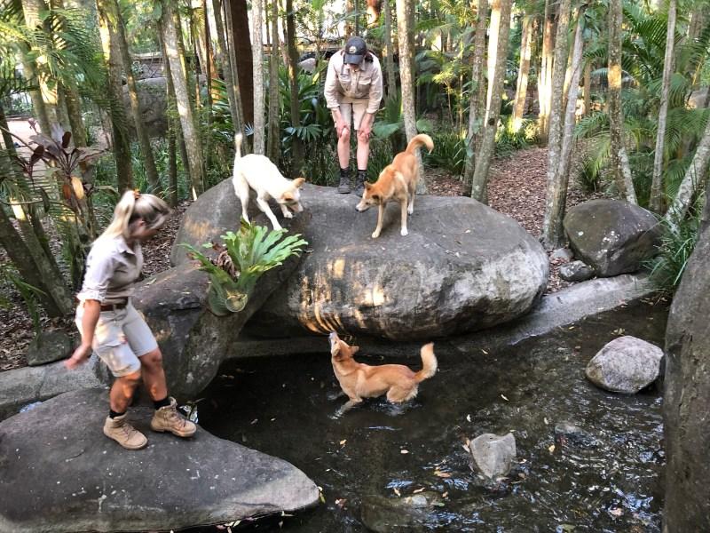 Dingos at Australia Zoo