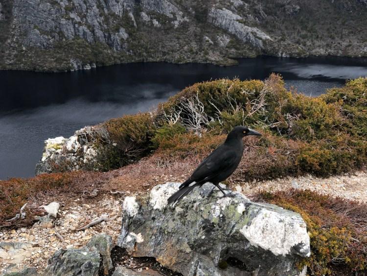 bird on cradle mountain