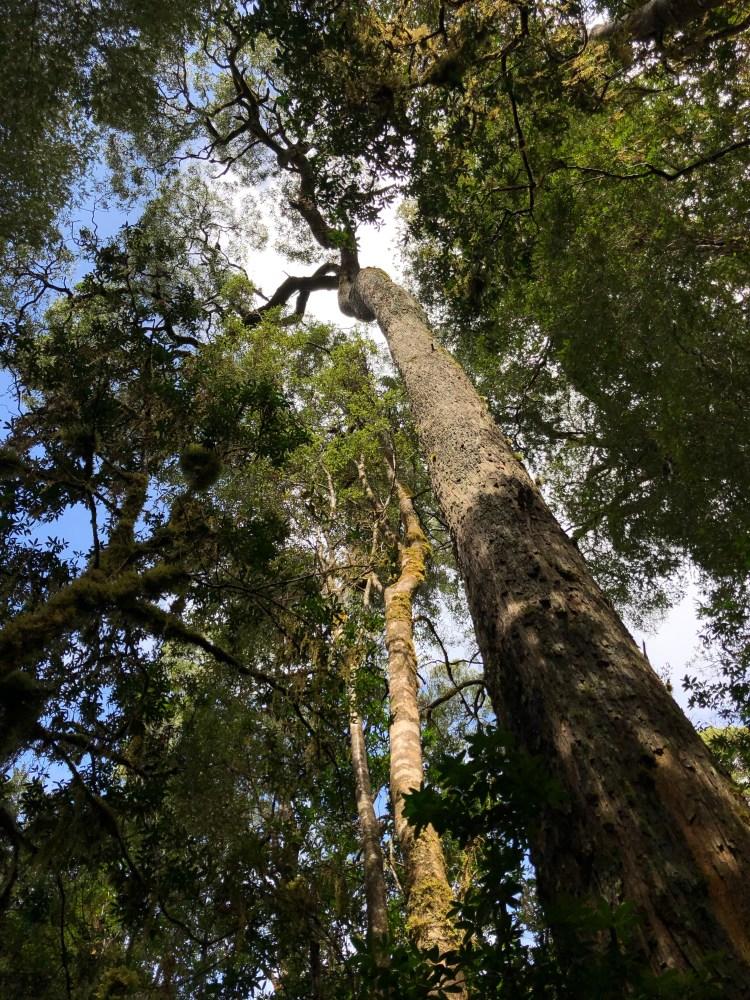 tall tree in tasmania