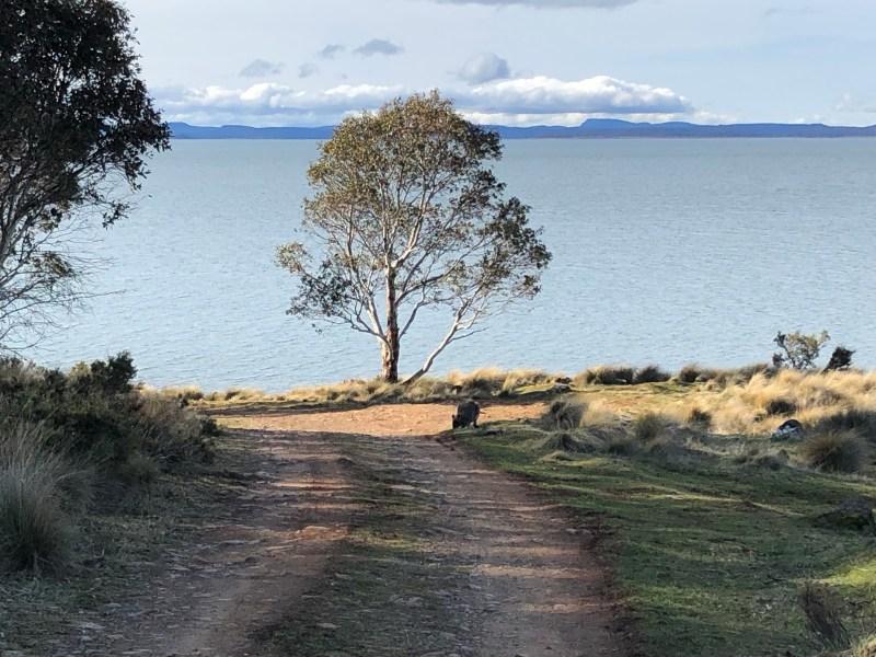 kangaroo with tree and water