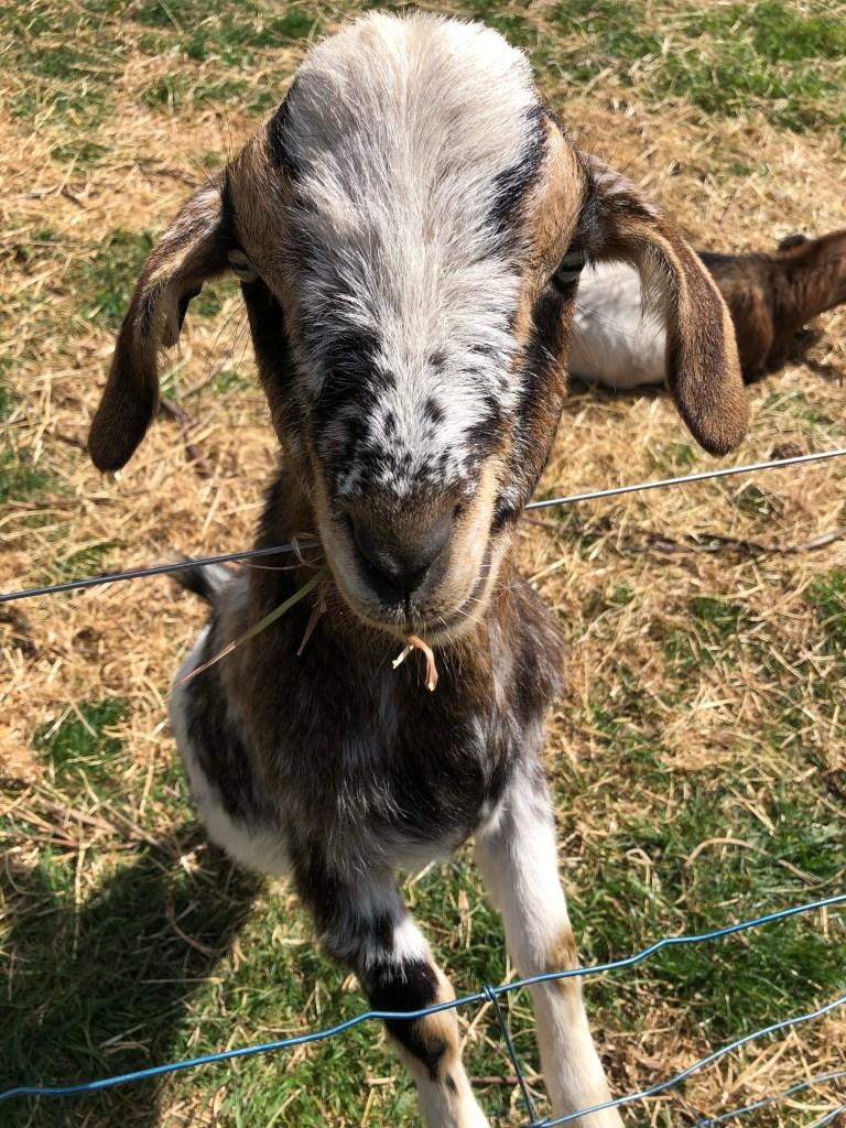 mini-goat