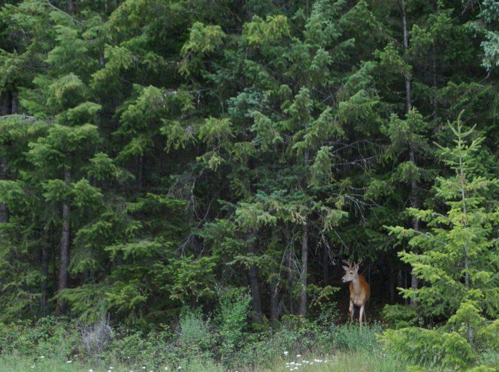 Wildlife Canada - Deer