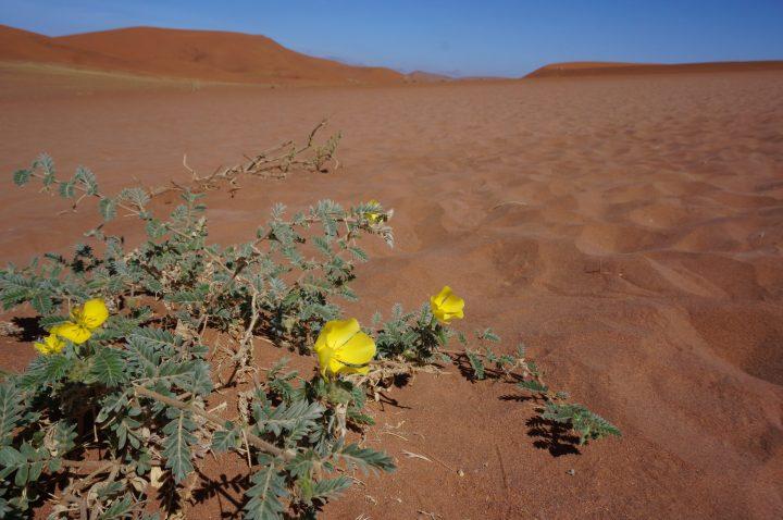 Wüstenblume Namibia