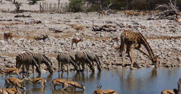 Wie trinkt eine Giraffe