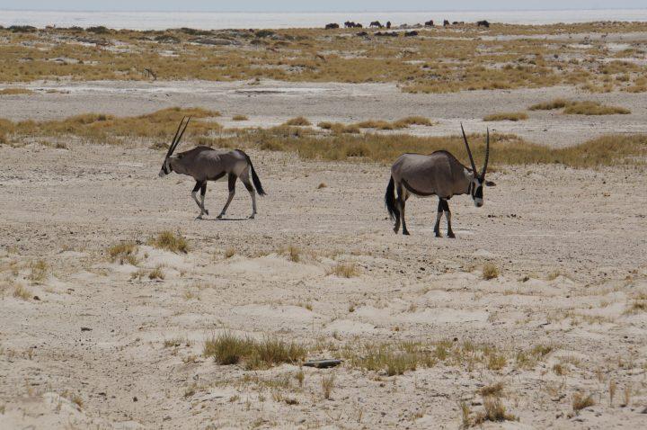 Oryx Antilope Etosha