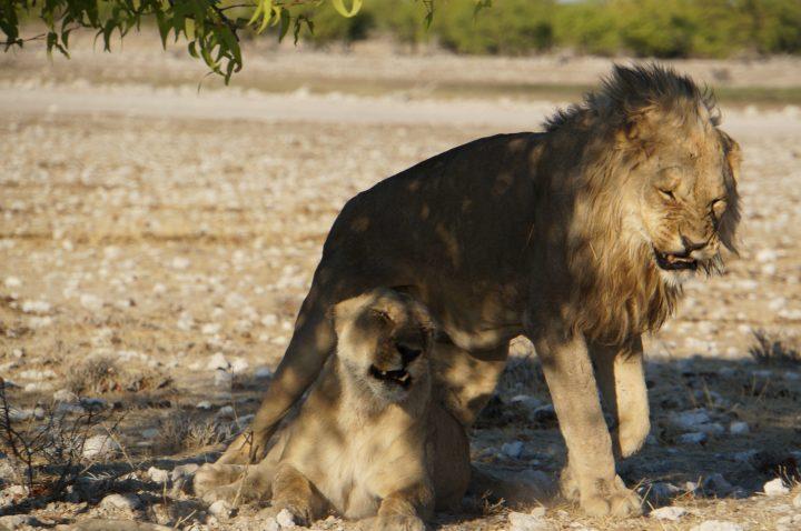 Löwen Paar Namibia