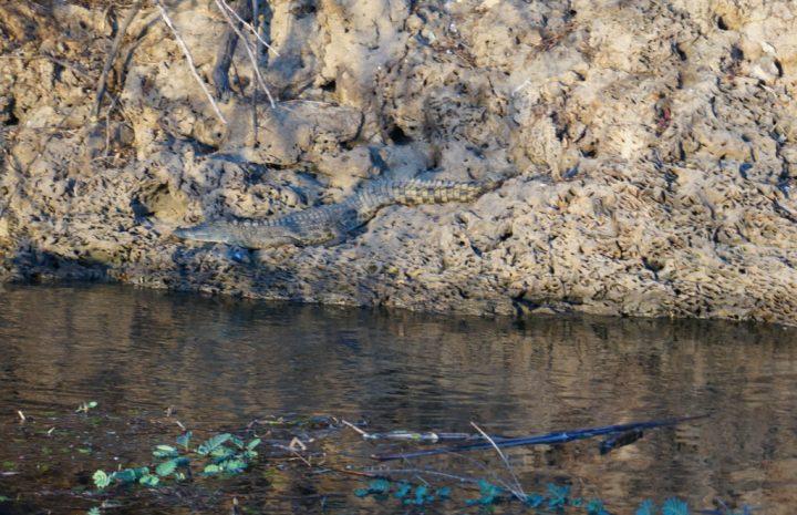 Krokodil Okavango