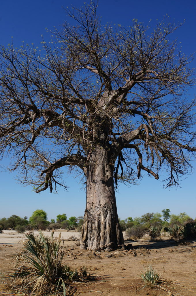 Affenbrotbaum Mahango Game Park