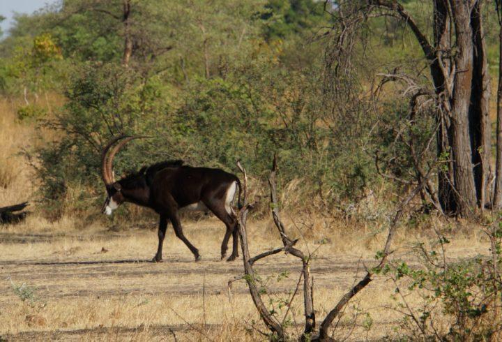 Antilope Namibia