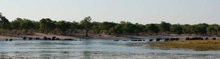 Elefanten durchqueren Sambesi