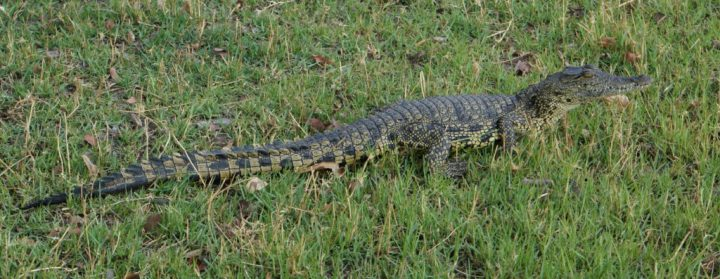 Krokodil Botswana