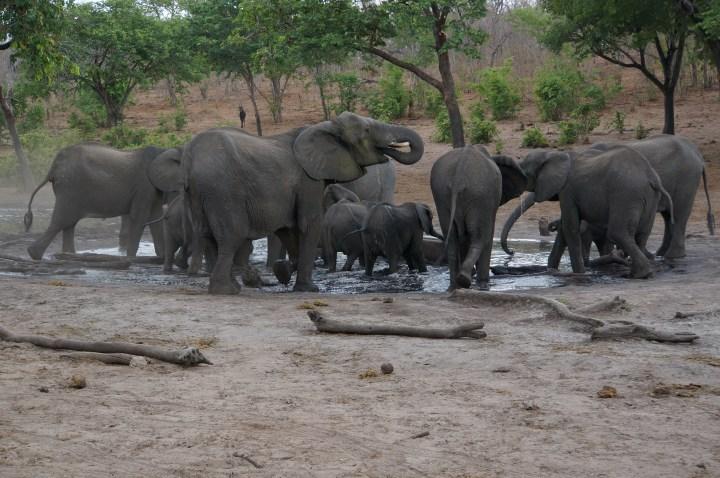 Elefanten am Wasserloch Chobe