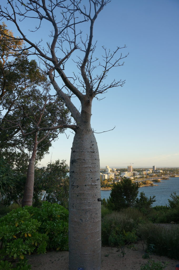 Baobab im Kings Park Perth