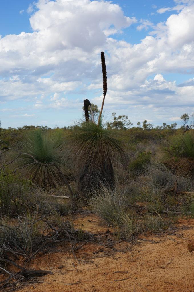 Palme in Westaustralien