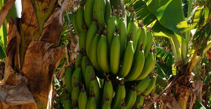 Wie wachsen Bananen